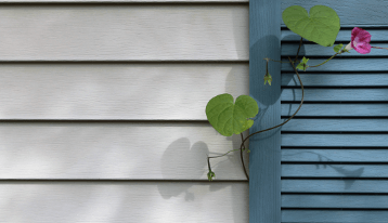 House siding with purple flower vine in blue window shutter